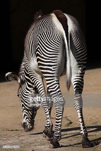 zebra de Grevy (Equus grevyi), também conhecido como imperial de zebra. : Foto de stock