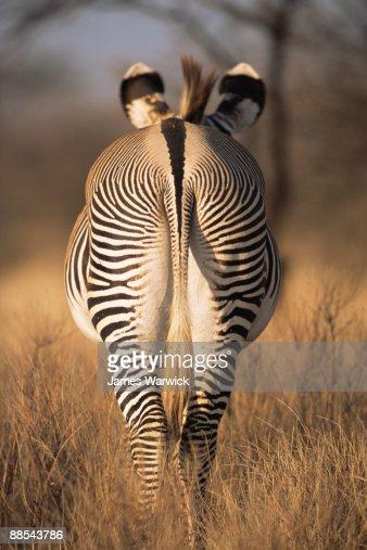 Grevy's zebra behind  : Stock Photo