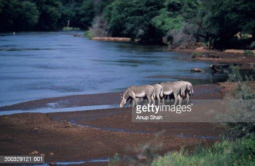 Grevy's zebra (Equus grevyi) drinking, Samburu National Reserve, Kenya : Stock Photo
