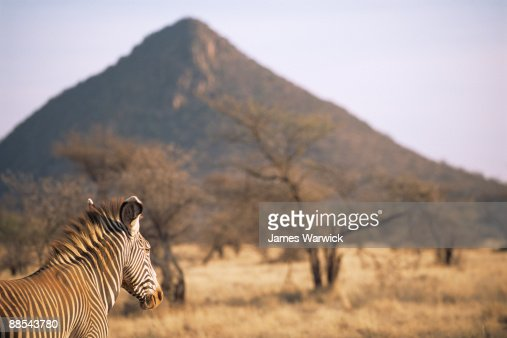Grevy's zebra on look-out  : Stock Photo
