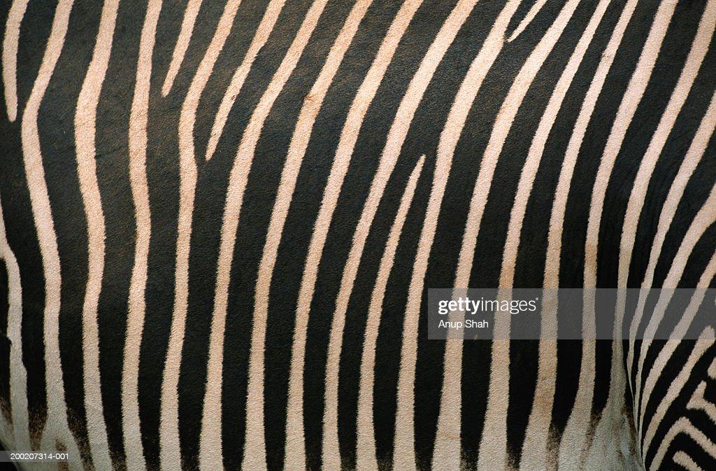 Grevy's zebra (Equus grevyi) skin, extreme close up, Samburu N.R, Kenya : Stock Photo