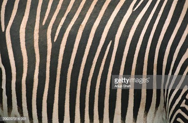Grevy's zebra (Equus grevyi) skin, extreme close up, Samburu N.R, Kenya