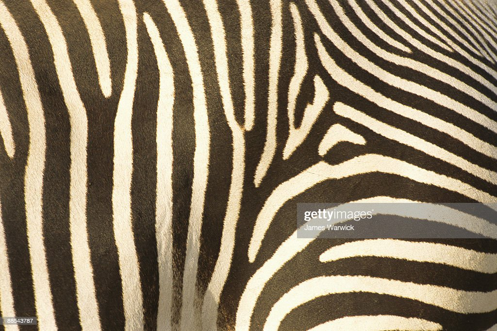 Grevy's zebra stripe pattern detail : Stock Photo