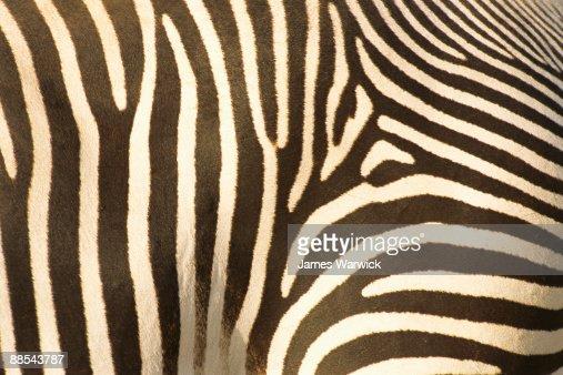 Grevy's zebra stripe pattern detail : Bildbanksbilder