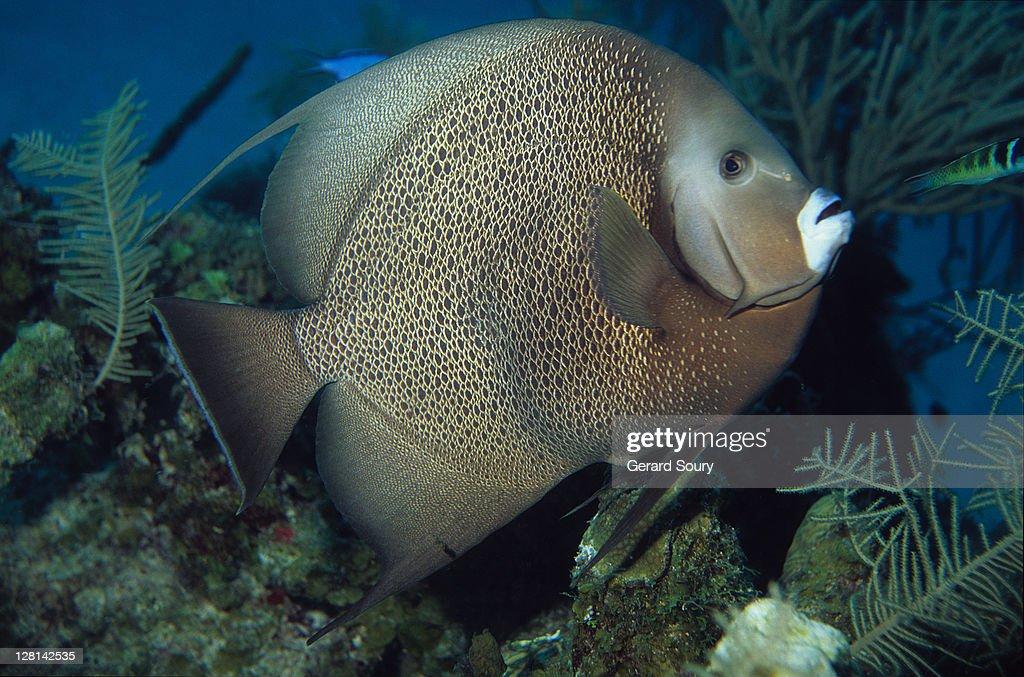 Grey angelfish (Pomacanthus arcuatus) juvenile, Caribbean, Atlantic Ocean : Stock Photo