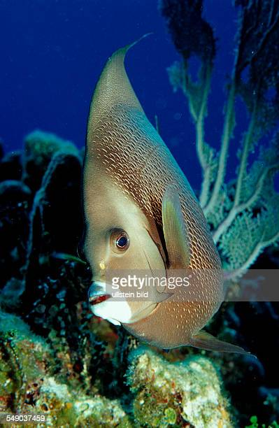Grey Angelfish Pomacanthus arcuatus Netherlands Antilles Bonaire Caribbean Sea