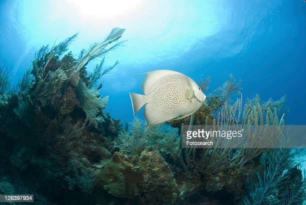 Grey Angelfish (Pomacanthus arcuatus), swimming over coral reef, Cayman Islands, Caribbean