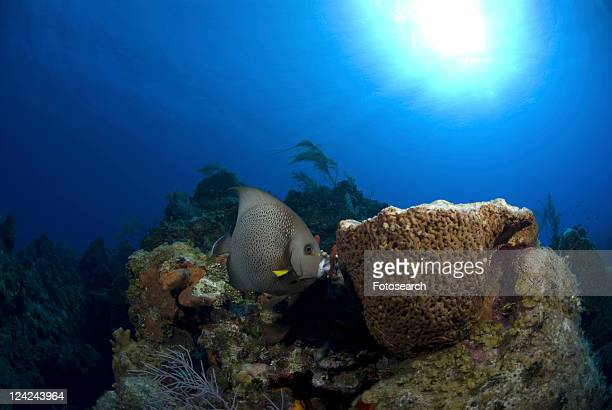 Grey Angelfish (Pomacanthus arcuatus), swimming over coral reef with sponges, Cayman Islands, Caribbean