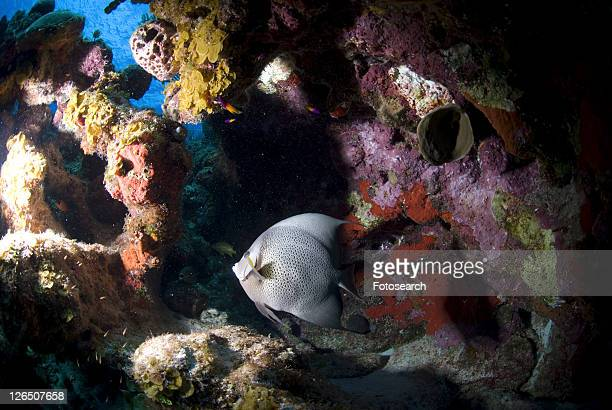 Grey Angelfish (Pomacanthus arcuatus), swimming under coral ledge, Cayman Islands, Caribbean