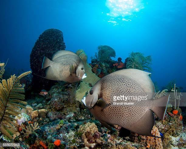 Grey Anglefish
