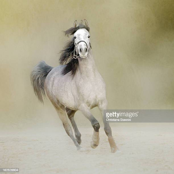 Grey Arabian horse cantering