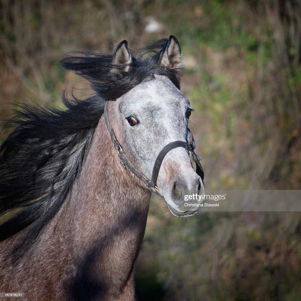 Grey arabian horse cantering : Stock Photo