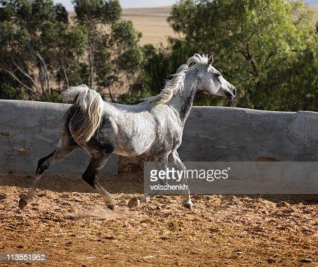 Grey Arabian trot