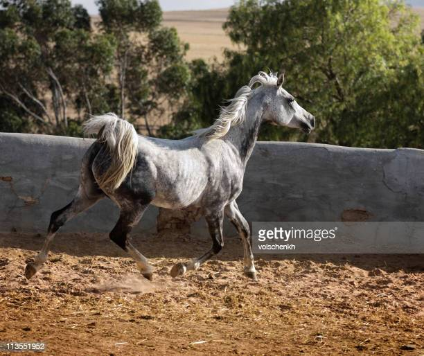 Grey Arabian trot