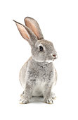 Grey baby rabbit  isolated on white background