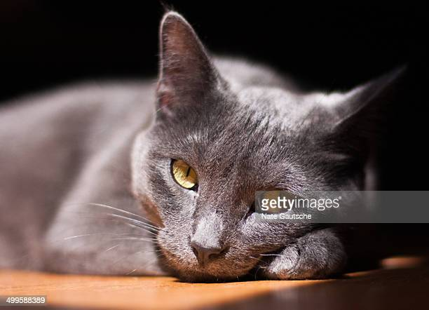 Grey cat looking intocamera