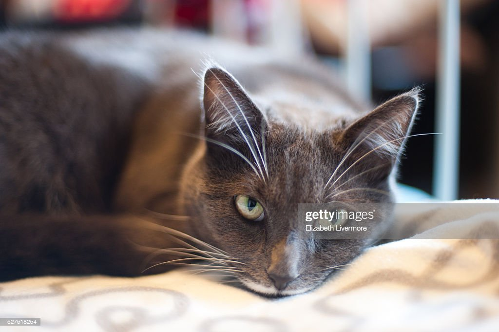 Grey cat resting on bed