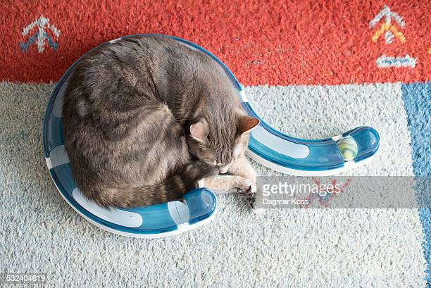 Grey cat sleeping rolled up in in toy