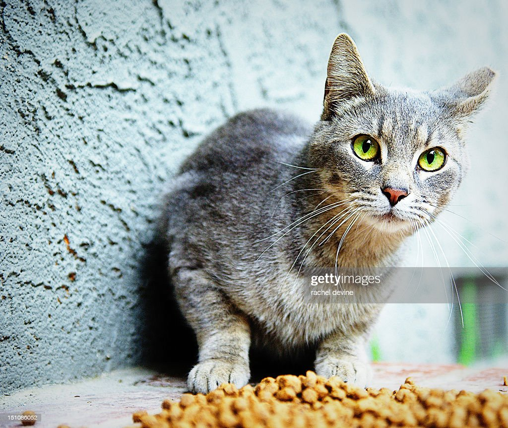Grey Cat With Green Eyes Stock