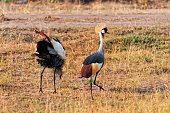 Grey Crowned Crane, Masai Mara, National Reserve