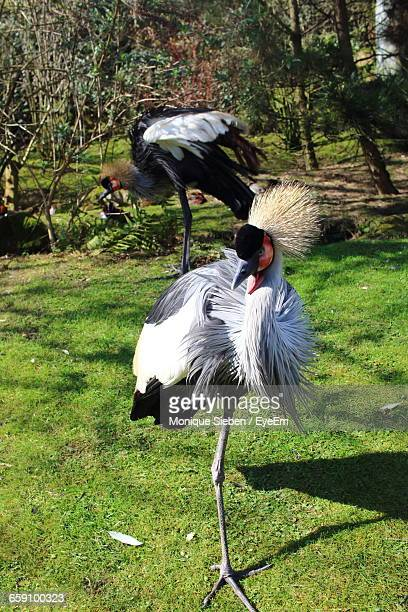 Grey Crowned Cranes On Field