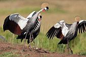 Grey crowned-cranes displaying