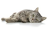 Beautiful cat composedly lies, insulated on white background.