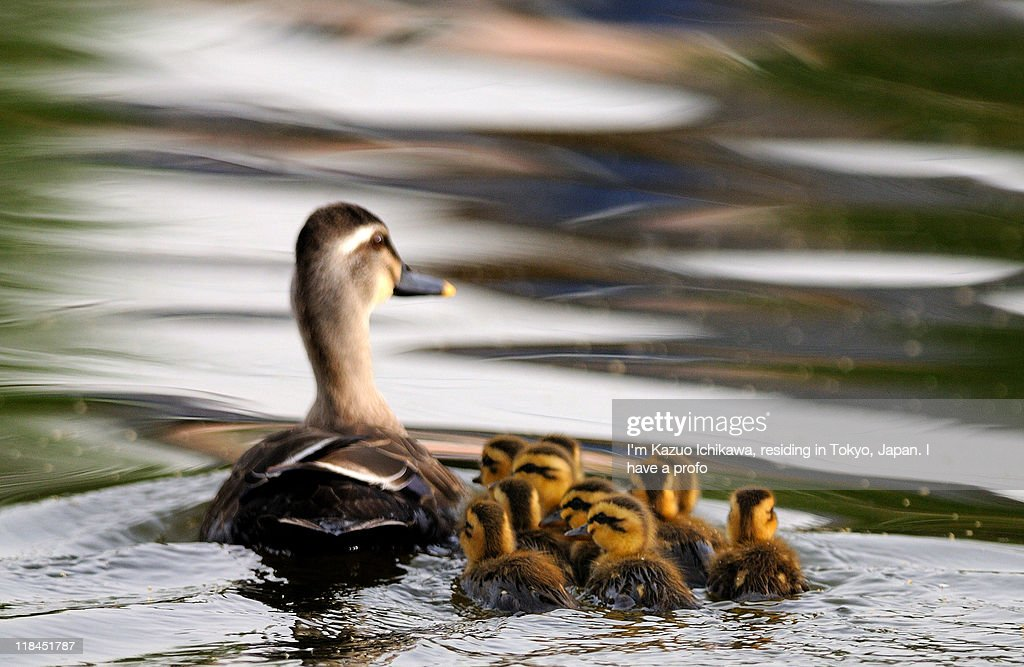 Grey duck with duckling : Stock Photo
