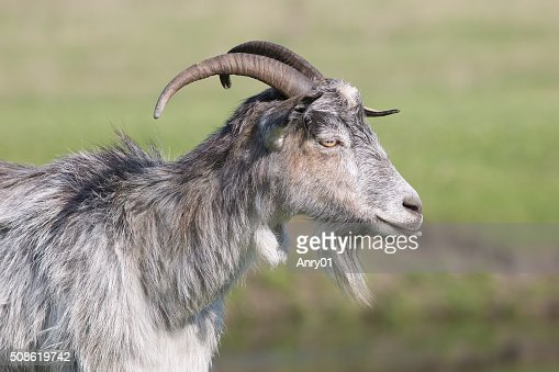 Grey goat standing in profile : Stock Photo