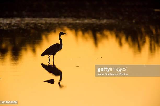 Grey Heron, Ardea cinerea, at sunrise, Bird Park Of Pont De Gau, Camargue, France