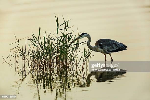 Grey Heron, Ardea cinerea, Camargue, France