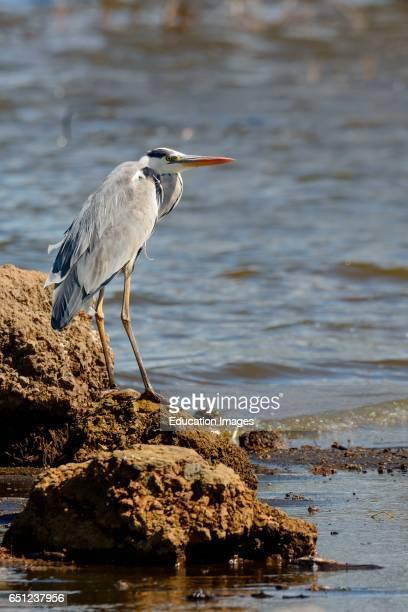 Grey heron Ardea cinerea Lake Nakuru Nakuru Great Rift Valley Kenya