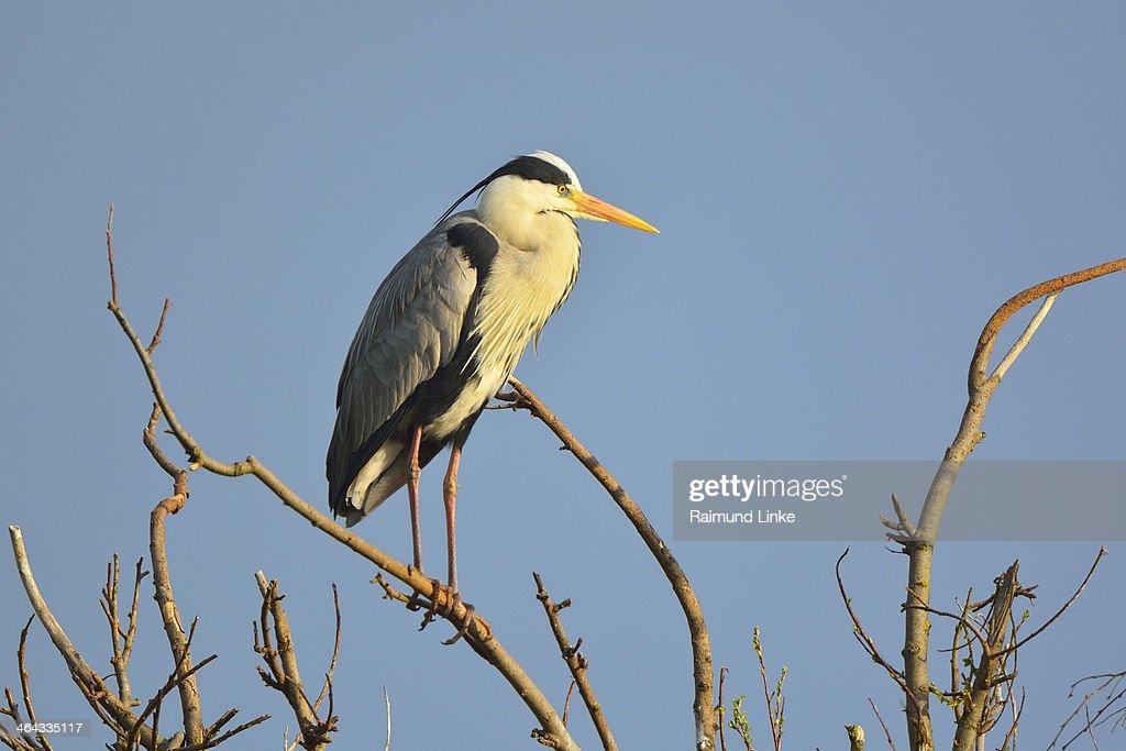 Grey Heron, Ardea cinerea : Stock Photo