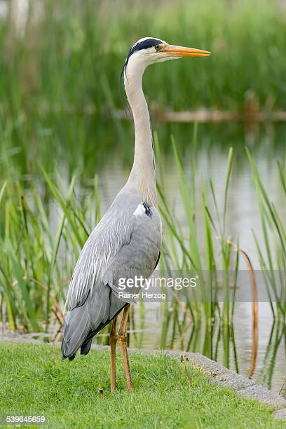 Grey Heron -Ardea cinerea- standing at the edge of a pond, Germany