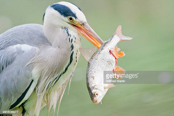 Grey Heron -Ardea cinerea- with prey, fish, North Hesse, Hesse, Germany