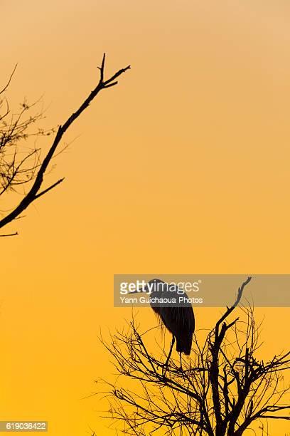 Grey Heron , Ardea cinerea,Bird Park Of Pont De Gau, Camargue, France
