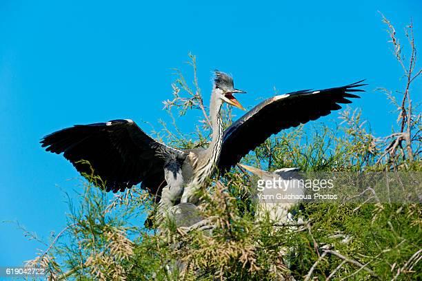 Grey Heron, Ardea cinerea,Bird Park Of Pont De Gau, Camargue, France