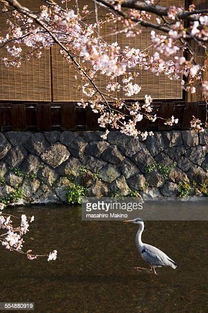 Grey Heron at Gion District