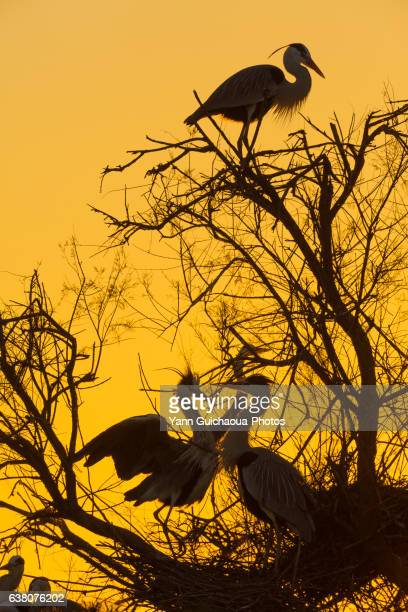 Grey heron at sunset, Camargue, France