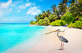 Gray heron bird on the beach at Bandos island in Maldives