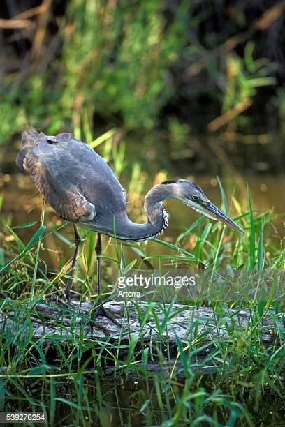 Grey heron fishing in pond Kruger National Park South Africa