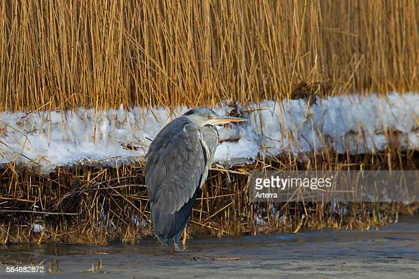 Grey heron / Gray heron standing on lake shore in the snow in winter