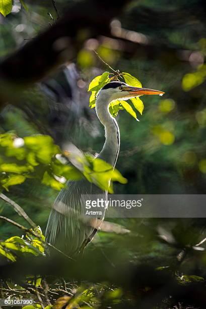 Grey heron hidden in vegetation