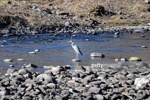 Grey heron on the bank of the Adige river in Bolzano, Italy