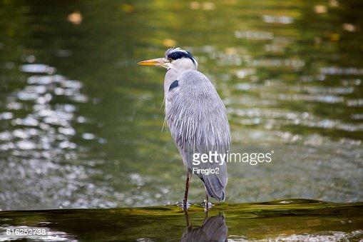 Grey Heron (Ardea cinerea) : Stock Photo