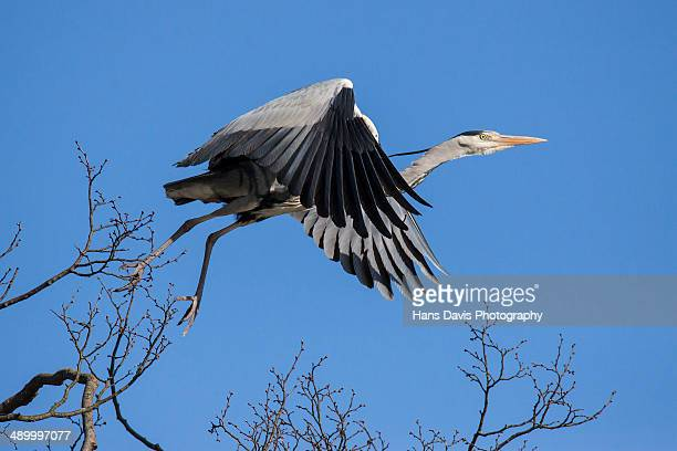 Grey Heron taking off from tree top.
