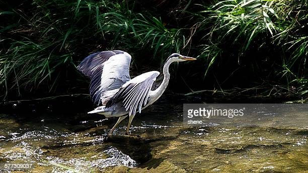 Grey Heron's Flapping on the stream