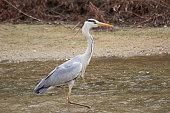 Grey Heron's walking across the stream.