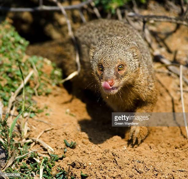Grey Indian mongoose