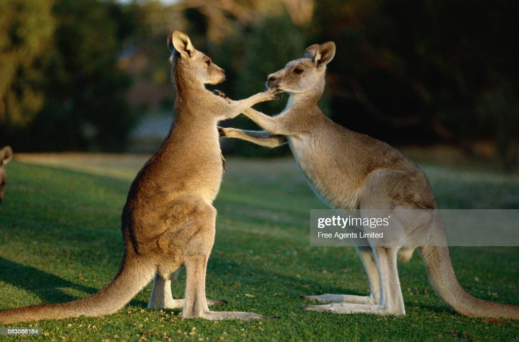 Grey Kangaroos Playing